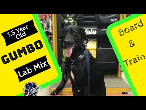 1.5yr Doberman/hound/lab mix (Gumbo) | Best Philly Dog Trainers | AMAZING Transformation!