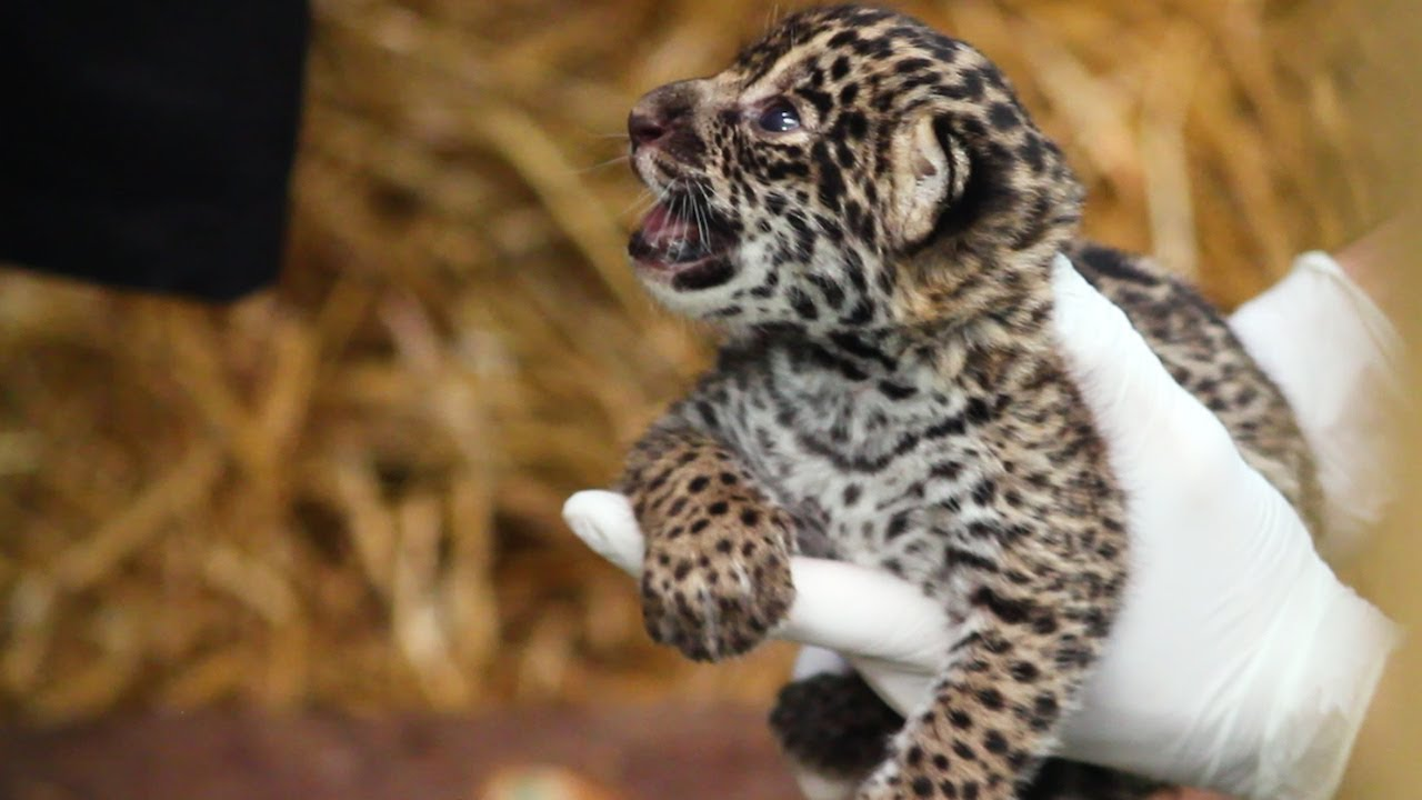 Cute Baby Animal Pictures Wallpapers The Family Who Bought A Zoo Cute Baby Jaguar Arrives