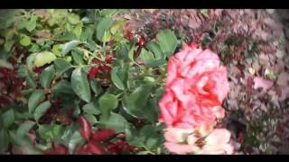 видео Розы на Даче в Ландшафтном Дизайне, Красивое Оформление Сада, Правильная Посадка, Выращивание и Уход за Английскими, Вьющимися, Штамбовыми, Парковыми и Миниатюрными Розами