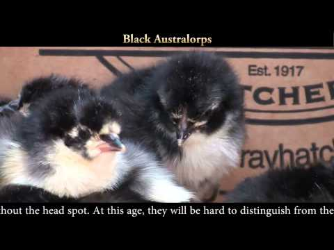 black-australop-chicks