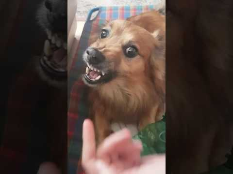Funny angry la la dog