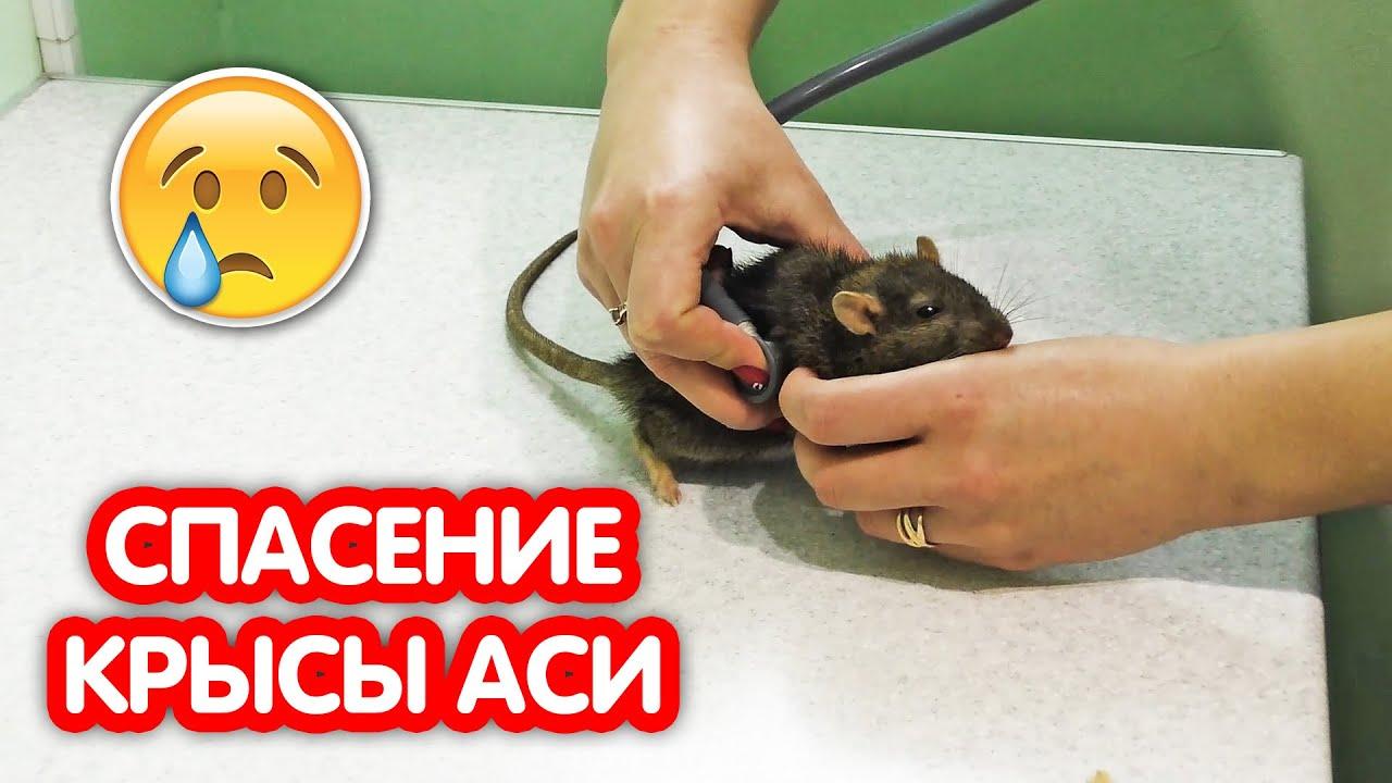 Рак у крысы. Спасение крысы Аси
