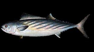 ●●Русская Рыбалка 3.99•Большой Живец•Как Правильно Ловить Бж●●