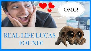 Lucas the Spider - Real Life!