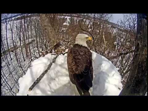 1:30 pm Activity on the nest @Hanover eagles...