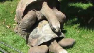 Dos tortugas se aparean en el Zoo de Barcelona