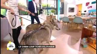 Les chiens-loups