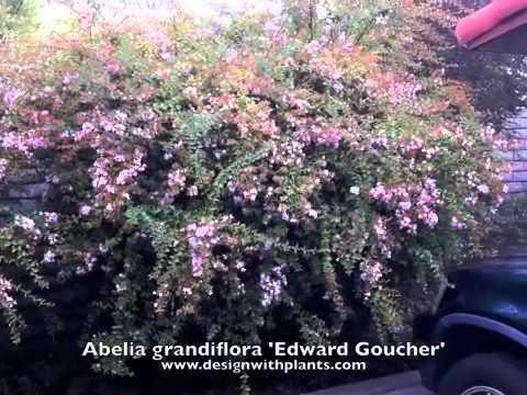 Abelia Grandiflora Edward Goucher Glossy Abelia Youtube