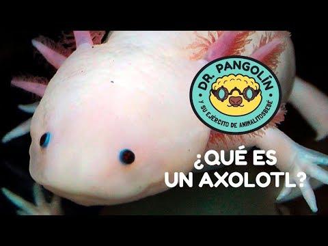 ¿Qué es un axolotl? - Dr. Pangolín y su Ejército de Animalitosbebé