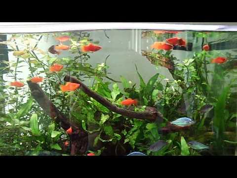 Common Platys And Dwarf Neon Rainbowfish Tank