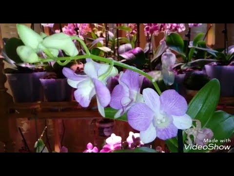 Dendrobium SA - NOOK   Новинка   Пересадка