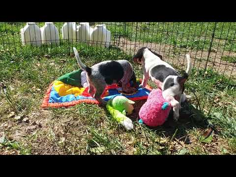BEAGLE PUPPIES & REDBONES PLAYING TOGETHER