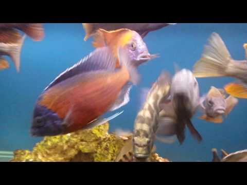 All Male African Cichlids Tank