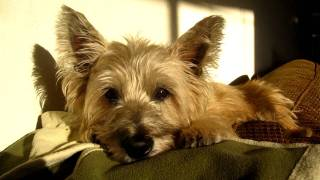 The Cairn Terrier Chronicles - Pavlov Sunning Himself