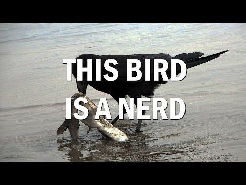 The Ultimate Nerd Bird: Hawaiian Crows!