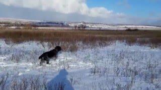 Охота со Спаниелем на куропаток (зимой)