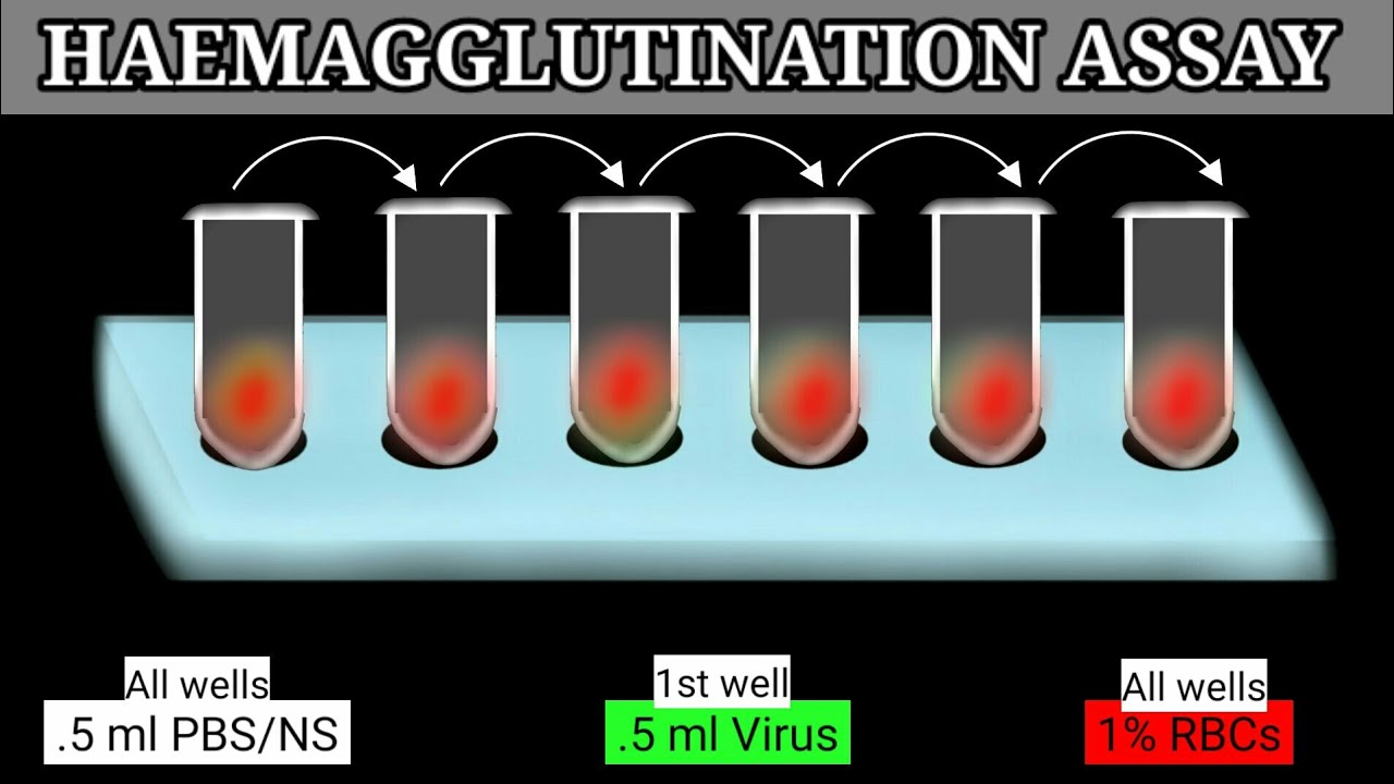 Download Haemagglutination Assay   HA Assay   HA Test  