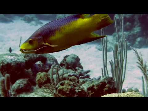 Spanish Hogfish Trying To Eat A Brittle Starfish