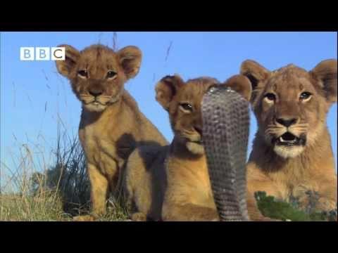 Lion Cubs V Spitting Cobra - Pride (Kate Winslet, Martin Freeman & Rupert Graves)
