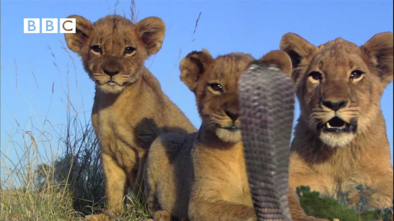 lion cubs v spitting cobra pride kate winslet martin freeman