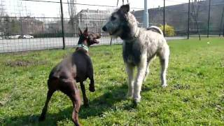 Dobermann vs Irish wolfhound