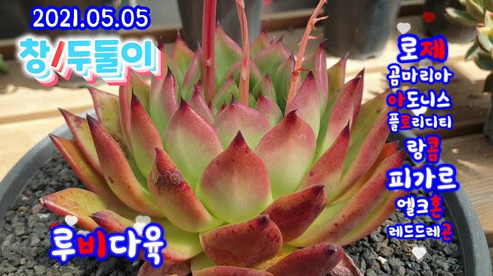 (루비다육2탄)창다육/두둘이 저렴이 부터 명품창까지 택배 010 5895 1110(korean succulent plants)