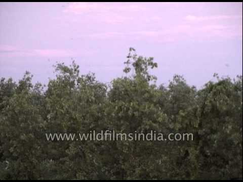 Parakeets seen across the northern Indian sky