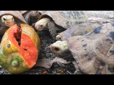 Elongated Tortoise Papaya Smackdown