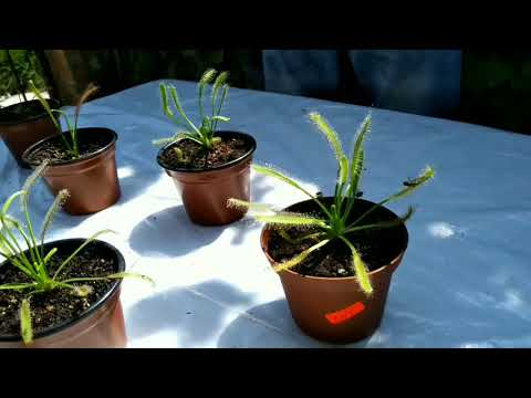 Cómo cuidar a nuestra drosera from YouTube · Duration:  7 minutes 24 seconds