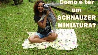 Como é Ter Um Schnauzer Miniatura? | Apresentando O Barthô