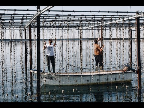 Oyster farming in the Languedoc