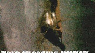 Cara Sukses Breeding/Berternak Konin (Kolibri Ninja) By Ndoro Djadoel