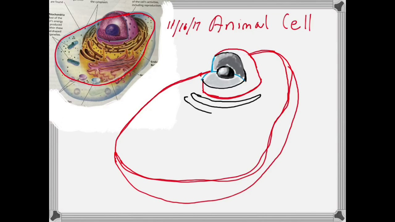 How to draw an animal cell