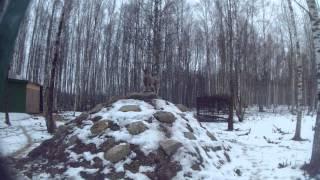 Винторогий козел / Capra falconeri / markhor