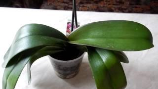 Орхидея выпустила цветонос