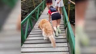 Собака боится идти по мосту ) очень забавно