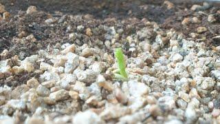 한 겨울에 은행나무 싹 틔우기 germinating g…