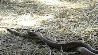 Snake Sex!