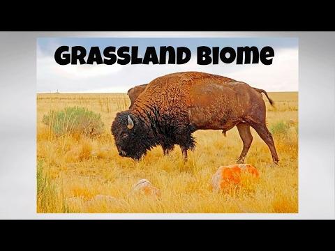 The Grassland Biome for kids
