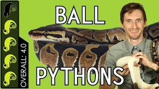 Ball Python, The Best Pet Reptile?