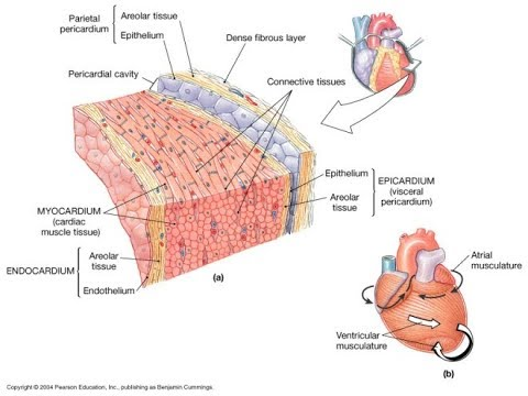 Cardiovascular system and the heart wall function and structure cardiovascular system and the heart wall function and structure made easy ccuart Image collections