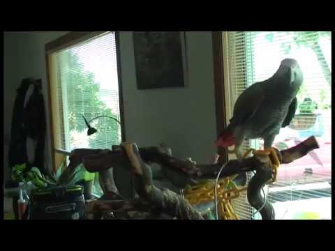 African Grey Parrot Talking And Putting On A Show