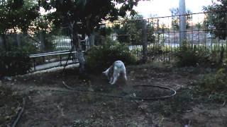 Щенок Хаски роет яму.