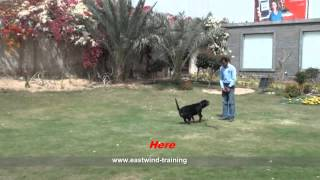 Dog Name( Lexi ) Rottweiler - Eastwind Training