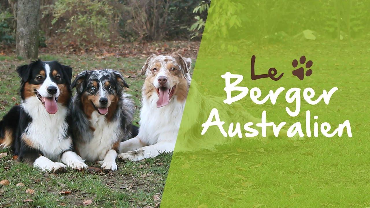 Download Le Berger Australien