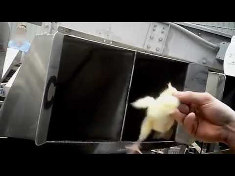 WATCH: Baby Chicks Ground Up Alive at Maple Leaf Hatchery