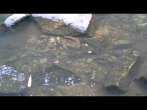Sri Lankan Adha Fish