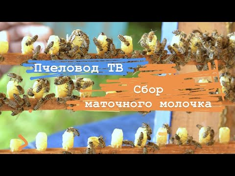 молочко маточное пчелиное как принимать в гранулах