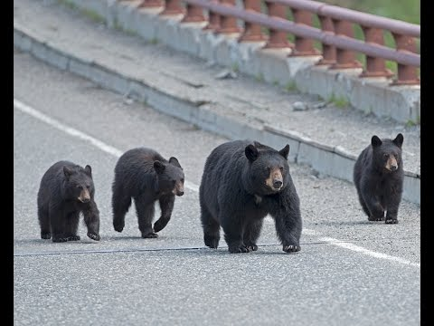 Black Bears Chase Tourists at Yellowstone National Park - NOT!!