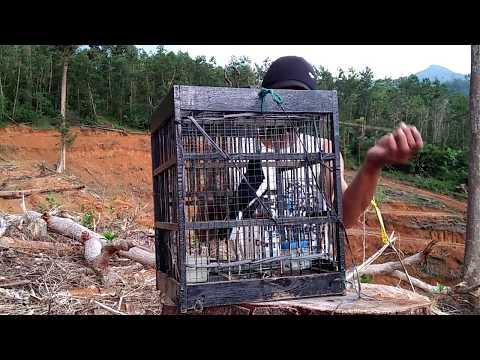 Pikat Kacer Kalimantan Di Alam Liar